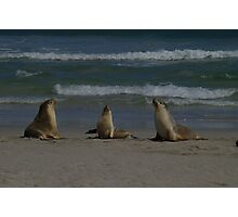 Australian Sea-lions Photographic Print