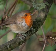 Autumn Robin  by Gill Langridge