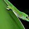 (Amphibians & Reptiles Category) - Family - Gekkonidae - Geckos
