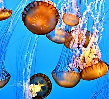 Jellyfishes by Tracy Engle