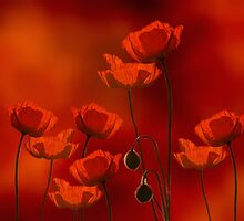 field of poppy by Anne Seltmann