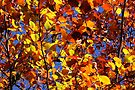 Autumn leaves by Sukhwinder Flora