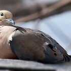 mourning dove by KathleenRinker