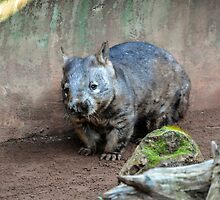 Wombat in the morning by JoBling