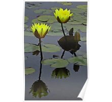 lily pad flowers Poster