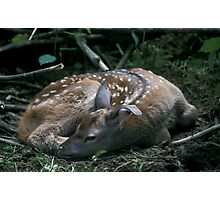 Deer fawn Photographic Print