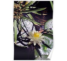 Water lily and shadows Poster
