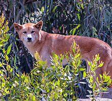 Dingo; Australian Wild Dog by JoBling