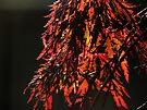 Japanese Maple by Brenda Boisvert