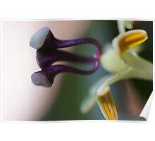 Passiflora Stamen Poster