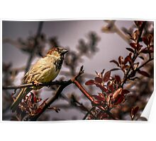 Sparrow In Spring Poster