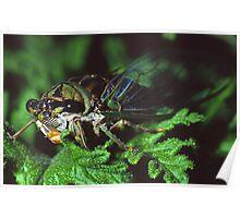 Cicada on Citronella  Poster