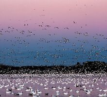 Snow Geese at Dusk. by Daniel Cadieux