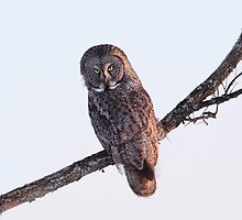 Grey Sunset / Great Grey Owl by Gary Fairhead