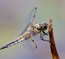 Four Spot Chaser by Peter Stone
