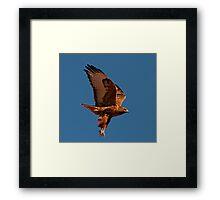 110710 Rufous Morph Red Tailed Hawk Framed Print