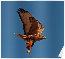 110710 Rufous Morph Red Tailed Hawk Poster