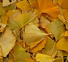 Fallen Ginkgo tree leaves . by David A. L. Davies