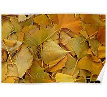 Fallen Ginkgo tree leaves . Poster