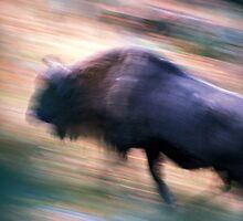 European bison running by intensivelight