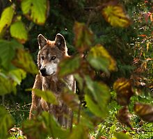 Watching From The Bush by Tim Denny