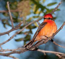 Vermilion Flycatcher by Jerome Berner