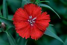 Little RED Flower (Dianthus Chinensis) by Gene Walls