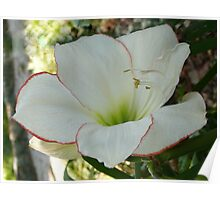 A white hippeastrum 'Picotee', Gold Coast Poster