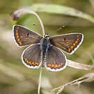 Brown Argus by Ashley Beolens