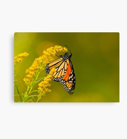 Monarch Butterfly - 22 Canvas Print