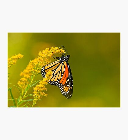 Monarch Butterfly - 22 Photographic Print
