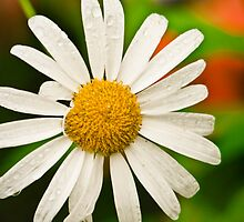 Daisy after rain by Sue Ratcliffe