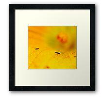 Flys, Zucchini Flower, Ridgeway, Tasmania Framed Print