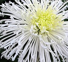 White Mums by boliver