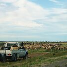 moving the sheep along the road to another paddock by janfoster