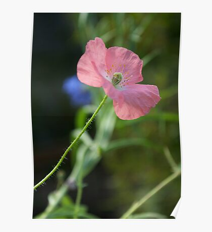 Poppy in Pink Poster