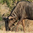 Grazing wildebeest by jozi1