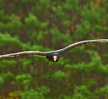 Turkey Vulture by Sue Ratcliffe