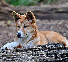 Dingo at Healesville Sanctuary by Tom Newman