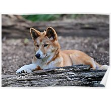 Dingo at Healesville Sanctuary Poster