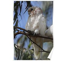 White Cockatoo Poster
