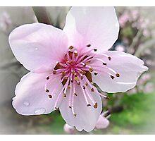 Nectarine Blossom - Sept. 2010 Photographic Print