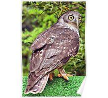 Barking Owl _(Ninox connivens)_ Poster