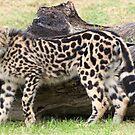 Female - King Cheetah by Brad Francis