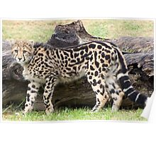 Female - King Cheetah Poster