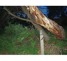 Tawny Frogmouth Owl - Coles Bay Photographic Print