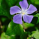 Periwinkle Flower by Anthony Thomas