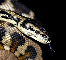 Darwin Python by TheMystic
