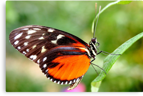 Hecale Longwing - Heliconius hecale zuleika by Lepidoptera