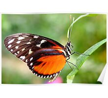 Hecale Longwing - Heliconius hecale zuleika Poster